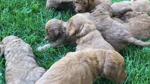 f1b mini golden-doodle puppie