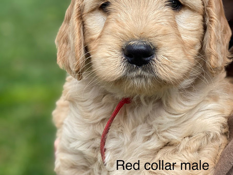 Adopt a Dog. Mini Goldendoodles for Sale