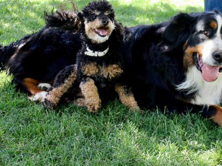Miniature Bernadoodle puppy for sale Idaho