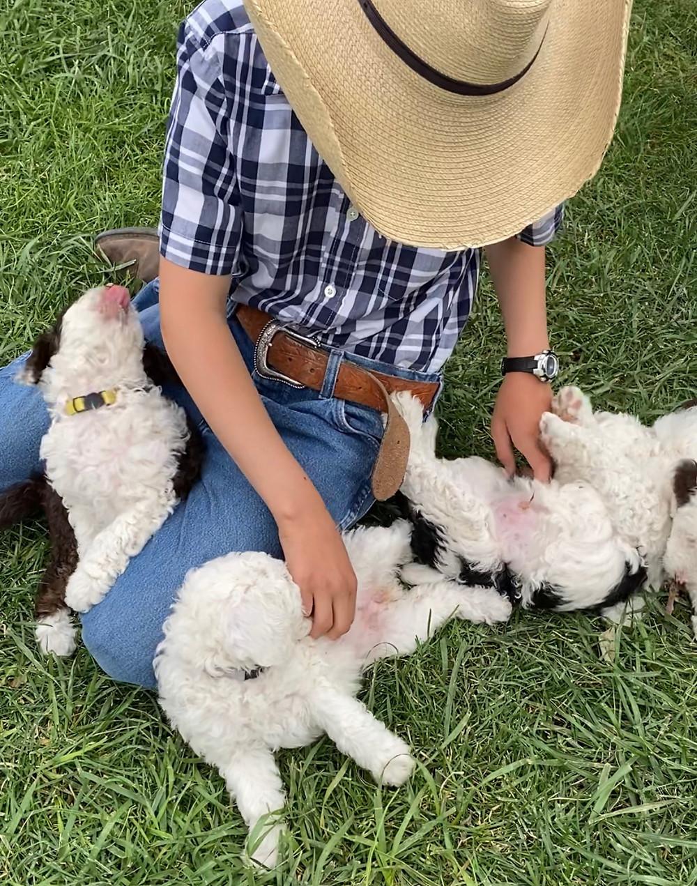mini sheepadoodle puppies for sale ohio