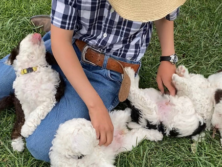 How to Feed a Micro Mini Sheepadoodle Puppy