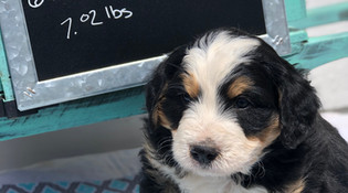 mini bernedoodle puppy 6wks