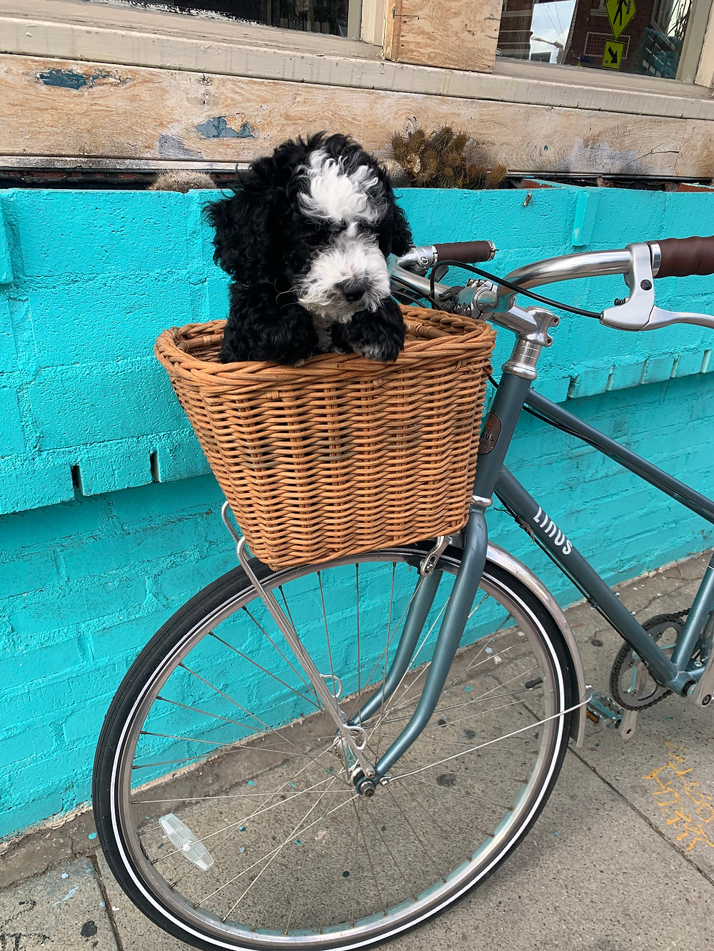 f1b mini sheepadoodle puppies for sale