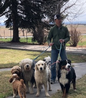 Keep your Goldendoodle safe from Foxtails