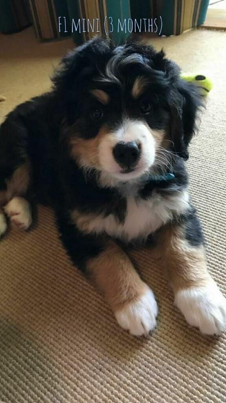 #minibernedoodle Pup