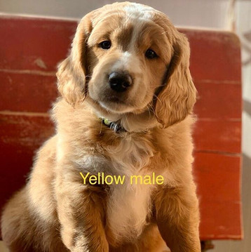 yellow mini goldendoodle.jpe