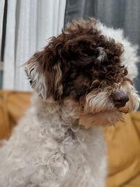 toypoodle-Oscar