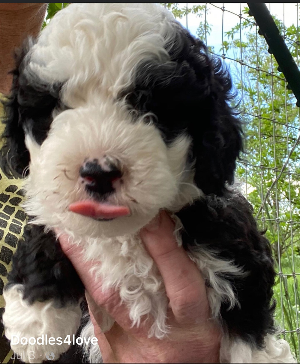 Mini sheepadoodle puppies for sale near me