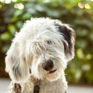 Cherry the OLD English Sheepdog