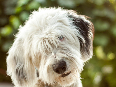 The Amazing Sheepadoodle Puppies for Sale