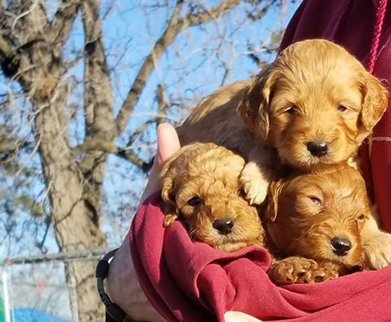 mini red f1b goldedoodle puppies