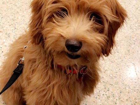 Soon mini teddy bear doodle puppies for sale