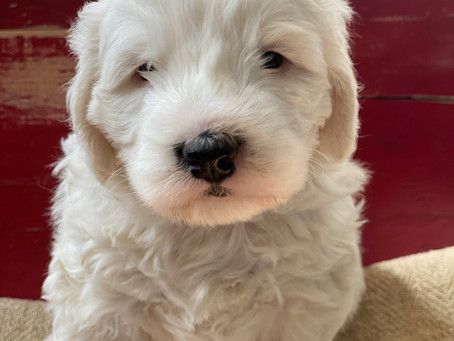 What is a Mini Sheepadoodle Puppy