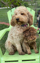 mini goldendoodle and poodle
