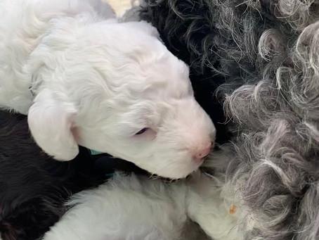 Miniature Sheepadoodle Puppies Idaho,United States