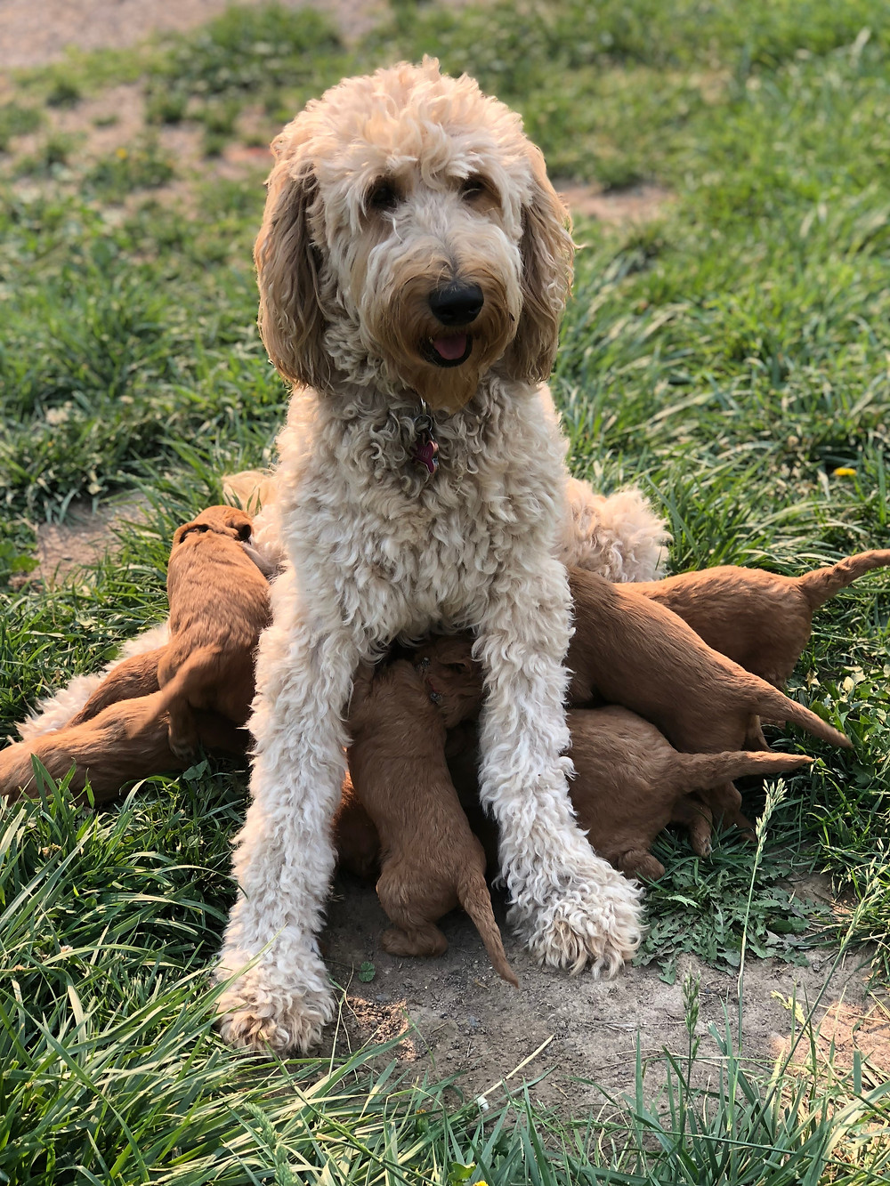 Miniature Goldendoodle Gathering