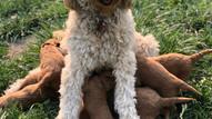 f1b mini goldendoodle puppy