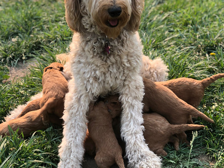 Miniature Goldendoodle Puppy for sale