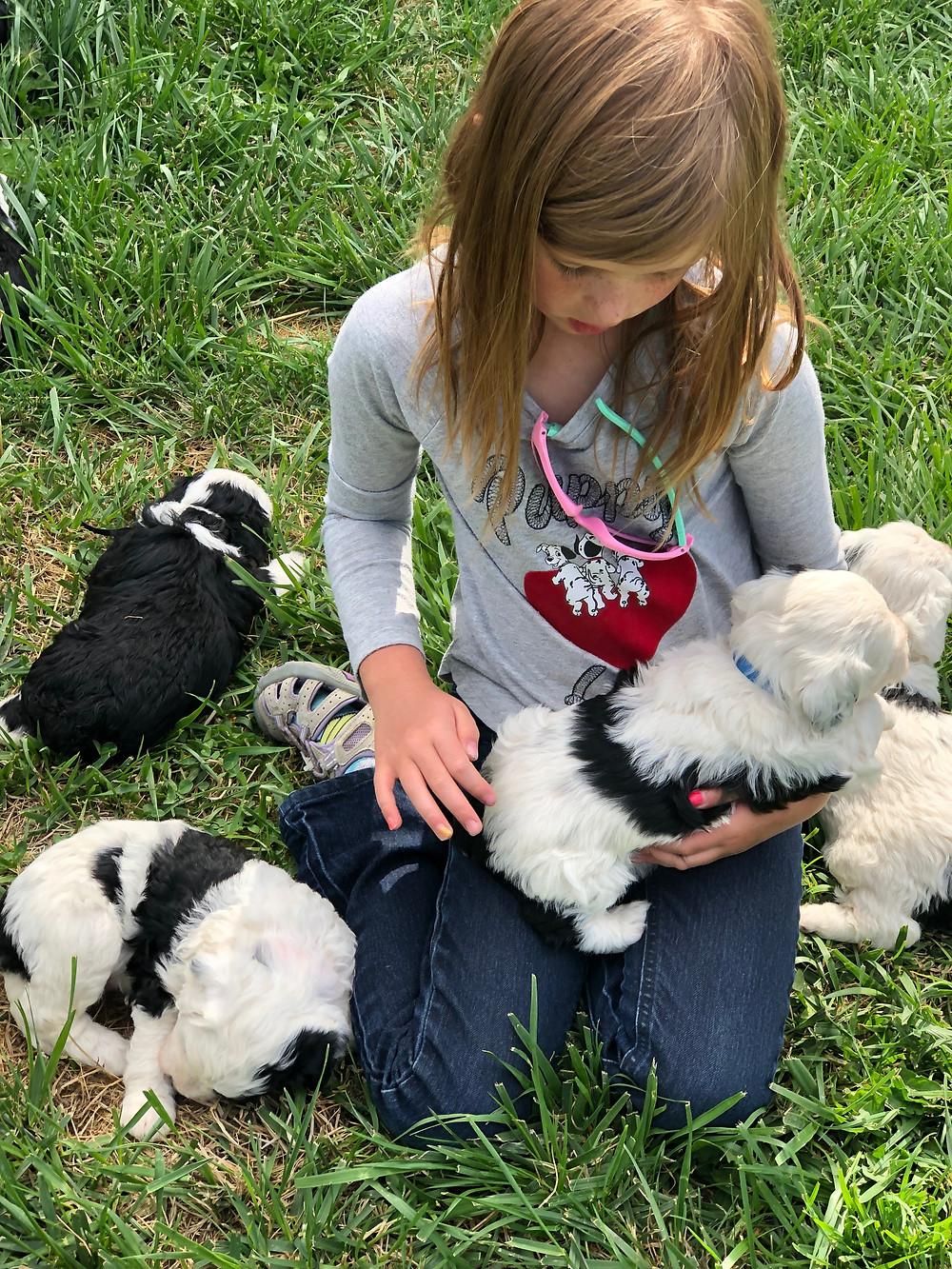 mini sheepadoodle puppies for sale Idaho