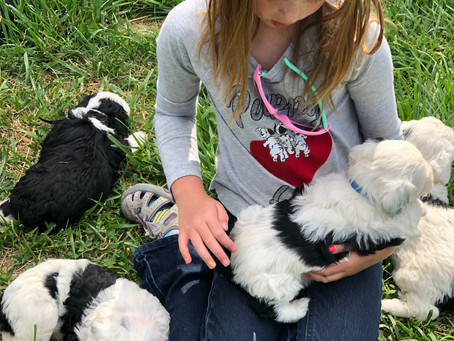 What is a Mini Sheepadoodle Puppy?