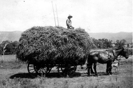 Historical photo, organic lucerne hay
