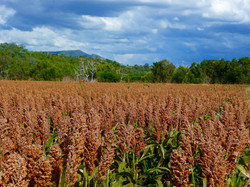 Promising clouds over the sorghum