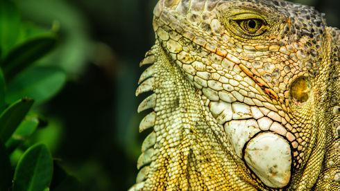 An Iguana on Turks & Caicos