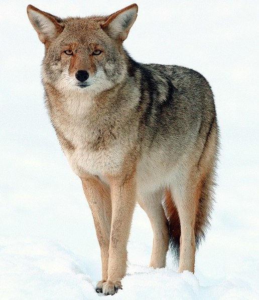 516px-2009-Coyote-Yosemite.jpg