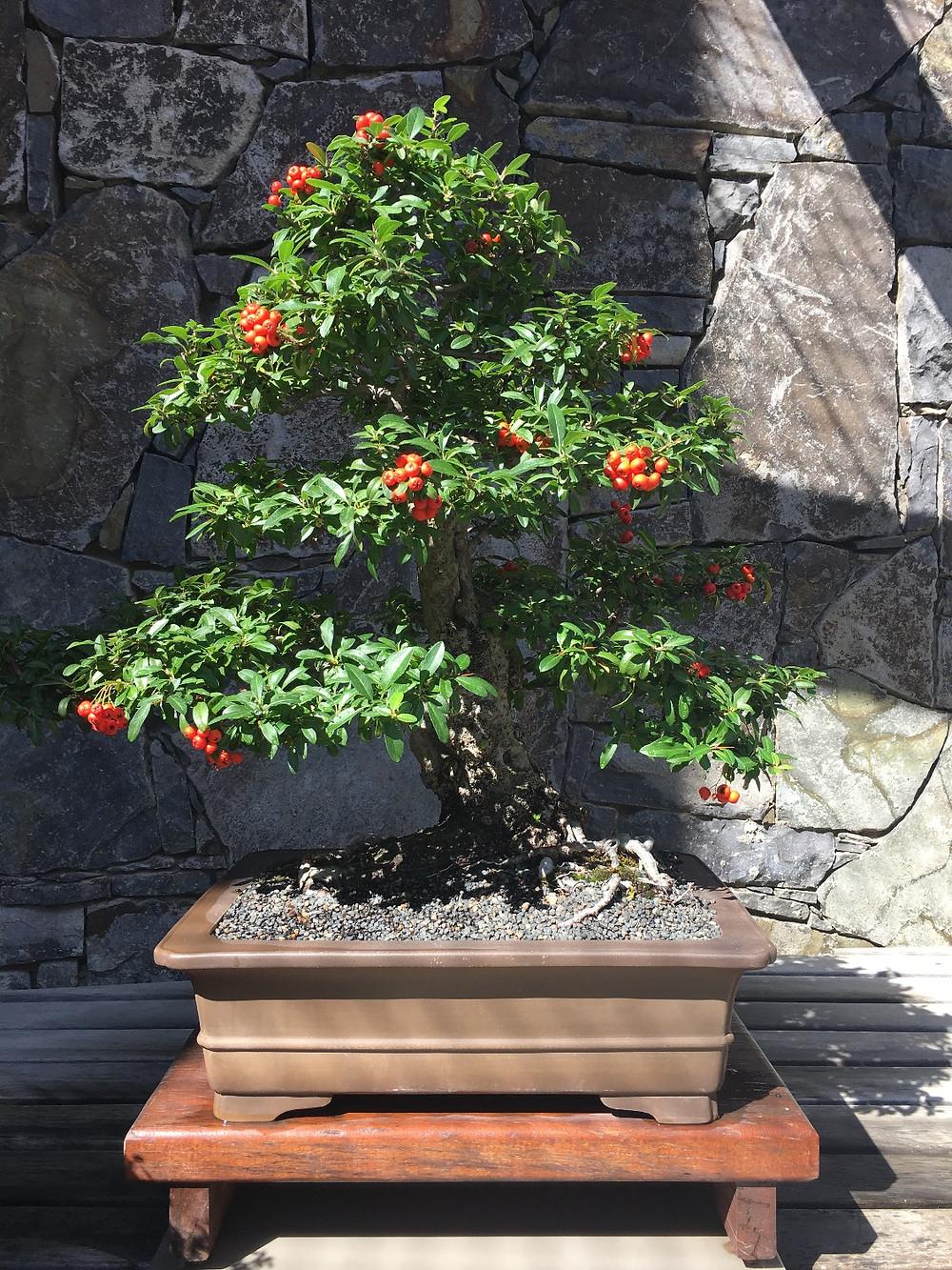 Bonsai tree at the National Arboretum