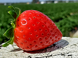 In Response to Produce Shortages, the Fruit Truck Is Extending Its Strawberry Delivery Season