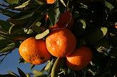 Satsuma Mandarins