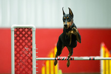 Lola's agility debut at the 2016 Doberman National