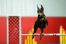 Lola's agility debut at the 2016 Doberman National