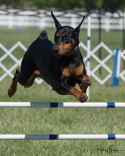 Lola is titled in Agility