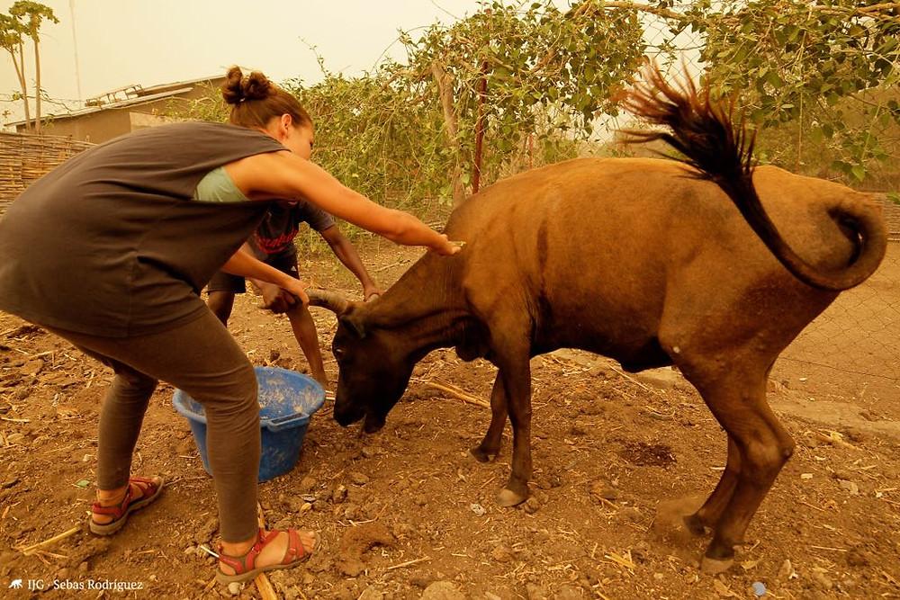 Las vacas son un elemendo fundamental en la economía doméstica de Dindéfélo.