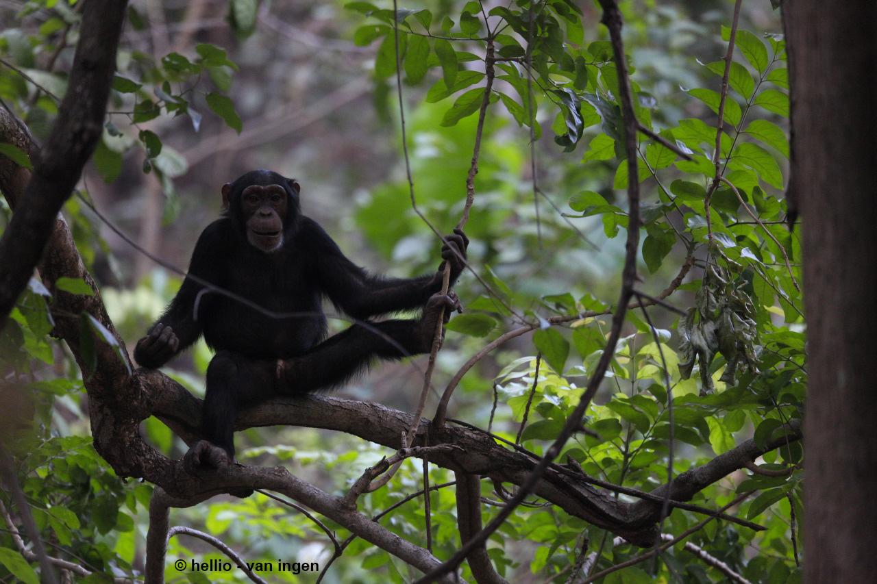 La subespecie de chimpancé Pan troglodytes verus se encuentra en pelígro crítico de extinción