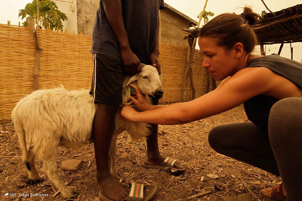 Cristina trata a una cabra en la Comuna de Dindéfélo.