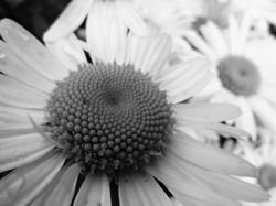 B&W daisy