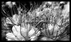 spikey flowers b&w