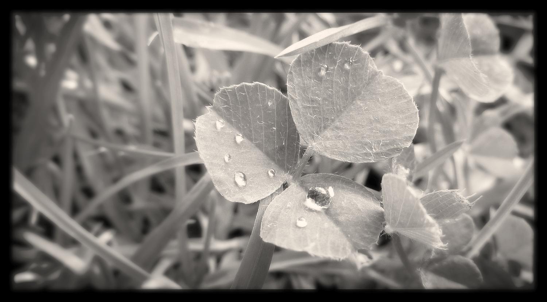 clover leaf b&w