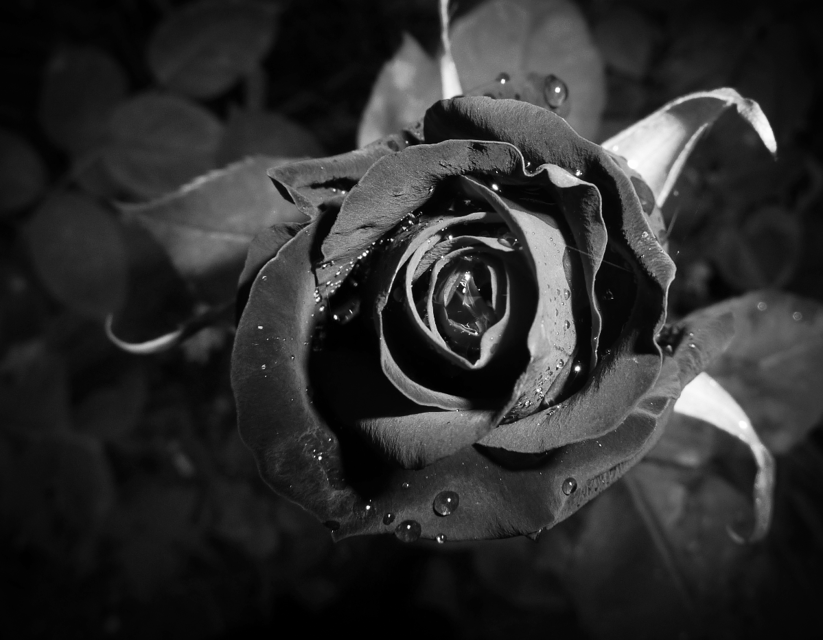 b&W dark rose