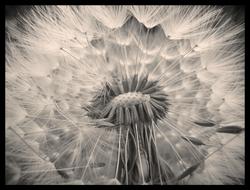 Broken Dandelion sepia