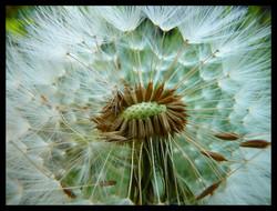 broken dandelion