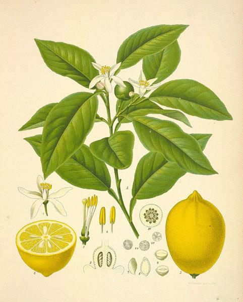 Limone scorza (Citrus limon Burm.)