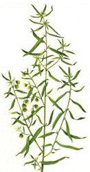 Estragone o Dragoncello (Artemisia dracunculus L.)