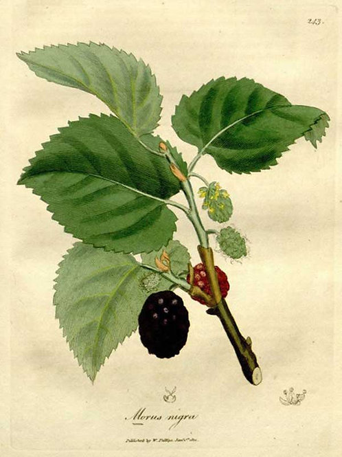Gelso nero (Morus nigra L.)