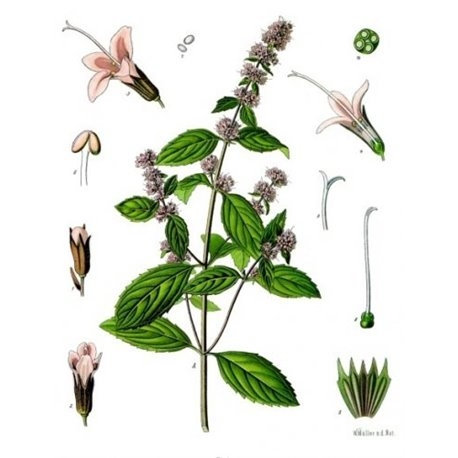 Menta dolce (Mentha viridis L./ Mentha spicata L. )