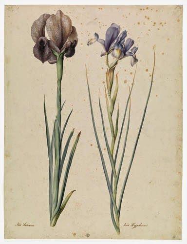 Giaggiolo rizoma t.t. (Iris germanica L.)