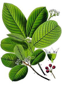 Cascara sagrada corteccia (Rhamnus purshiana D.C.)