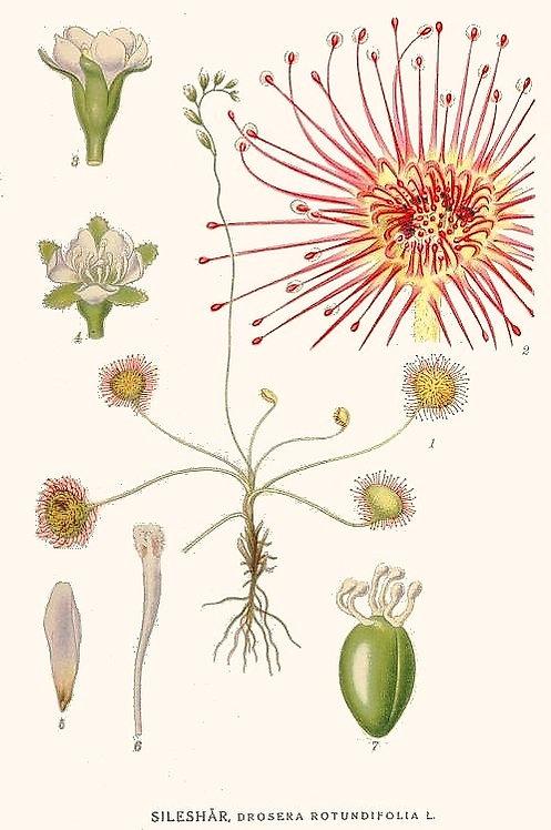 Drosera (Drosera ramentacea Burch.)